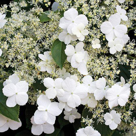 climbing hydrangea flowers