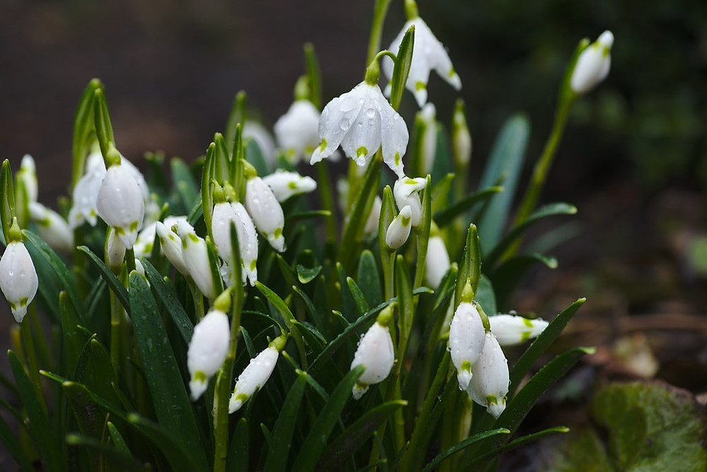 White snow drops in the winter