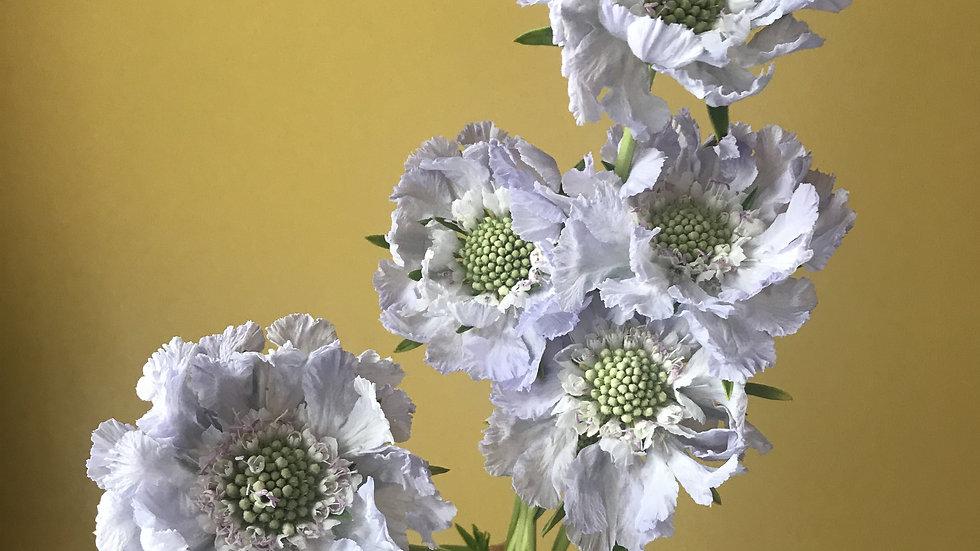 Scabious Flowers - 10 Stems