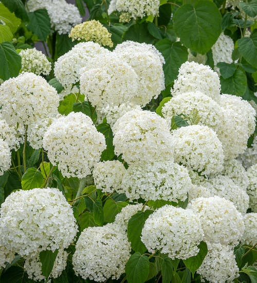 Incrediball (related to the Annabelle) hydrangea