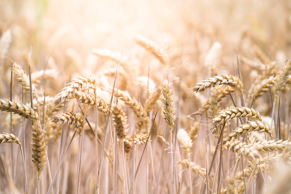 oats field