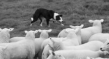border-collie-sheepdog-working-a-flock-o