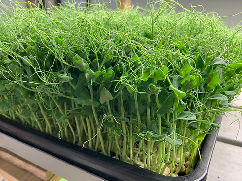 Lightfoot's Farm 1020 tray of pea shoots ready for harvest. High protein high vitamin c snack, garnish, and salad ingredient