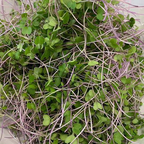 Khol Rabi Delicacy Purple microgreens stacked after harvest and viewed from above at Lightfoot's Farm, Hampshire, New Forest