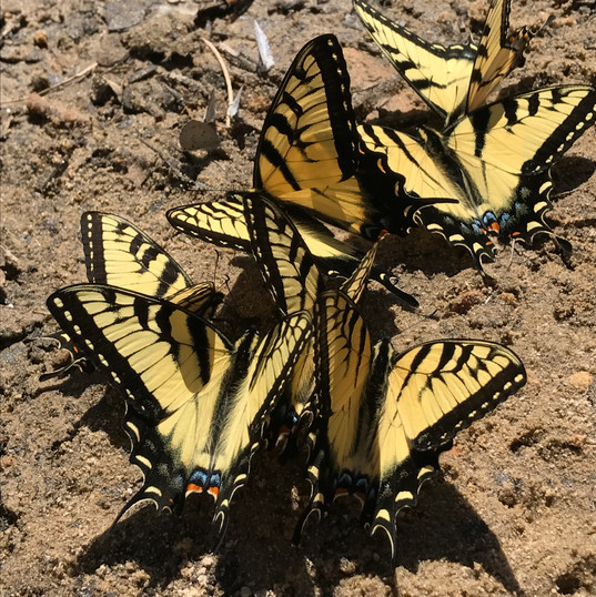 butterflies on the north toe river