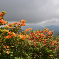 flame azaleas at roan mountain