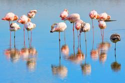 Flamingo, Camargue
