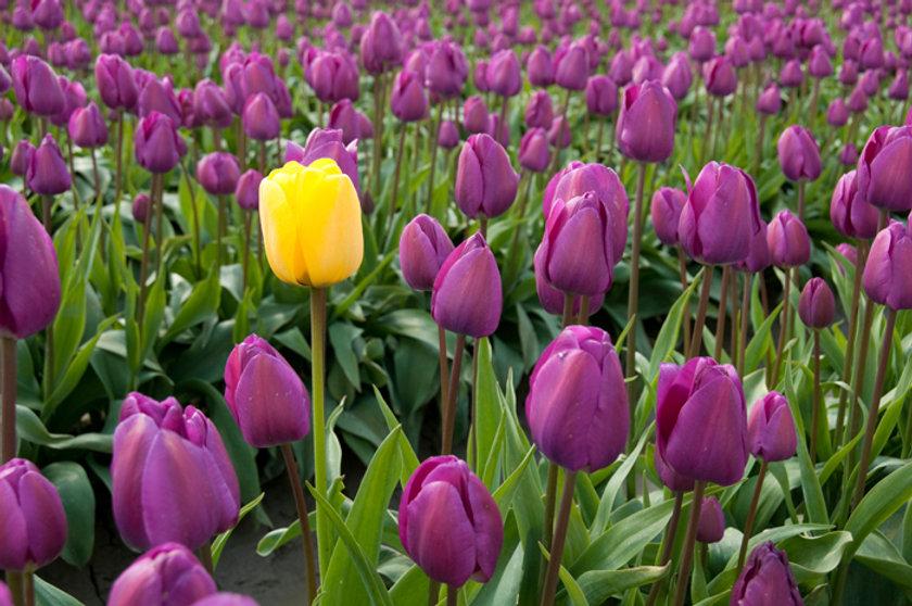 tulips-howwearedifferent.jpg