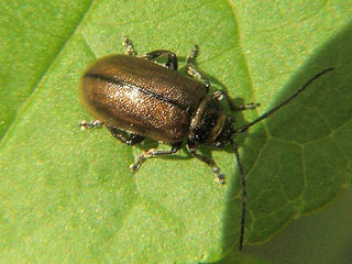 Heather beetle.jpg