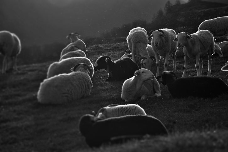 brebis, viande, vente directe, Ariège, Pyrénées, Occitanie, Viande d'agneau, bio, montagne, famille, GAEC.