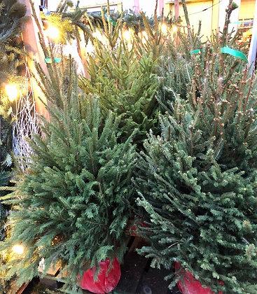 Sapin de Noël Épicéa naturel 125/150 (avec racines)