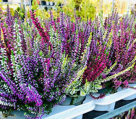 Bruyère multicolore pot 11cm