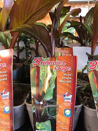 Bananier rouge Musa ensete maurelli 2l