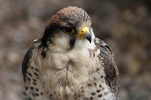 Ferdie - Lanner Falcon