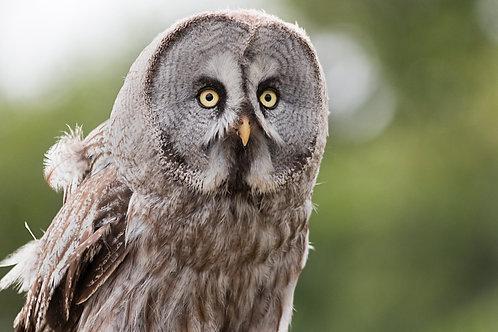 Lumpy - Great Grey Owl Sponsorship
