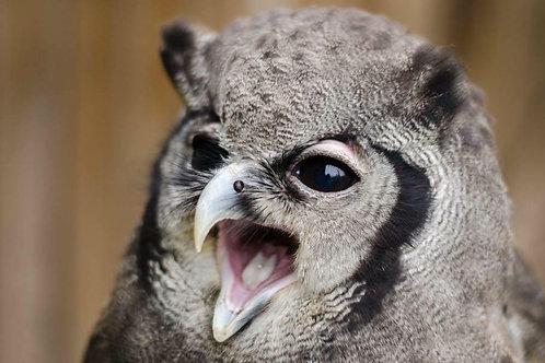 Gerrald -Milky Eagle Owl Sponsorship