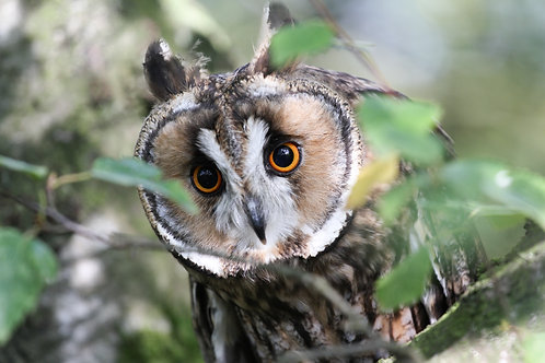 Eric - Long Eared Owl Sponsorship