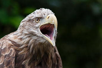 Picture of a White-Tailed Sea Eagle at Gauntlet Birds of Prey in Knutsford, Cheshire