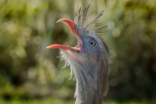 Spike - Red Legged Seriema