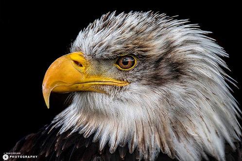 Sharon - Bald Eagle