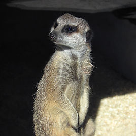 Meerkat standing up at Gaunlet Birds of Prey Centre in Knutsford, Cheshire