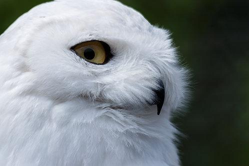 Frosty - Snowy Owl