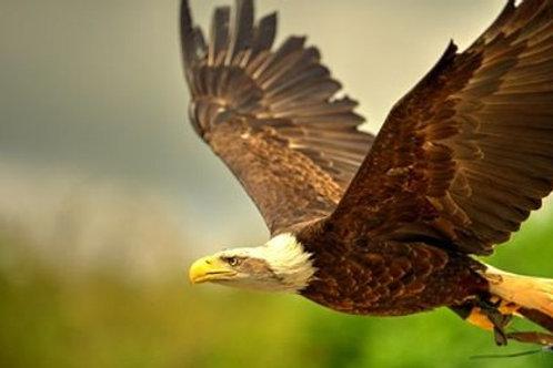 Holly - Bald Eagle