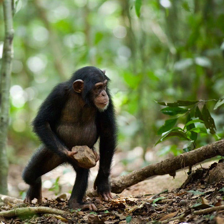 Newly discovered stone tool-use in chimpanzees may throw light on ancient human rituals