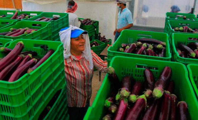 Honduras eggplant rock´s USA