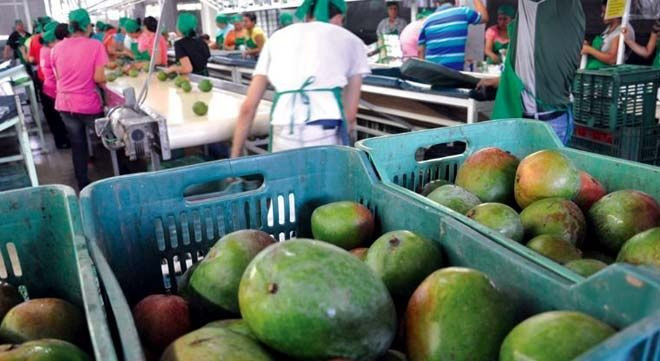 Nearly 40% of mangos in northern Mexico have been harvested