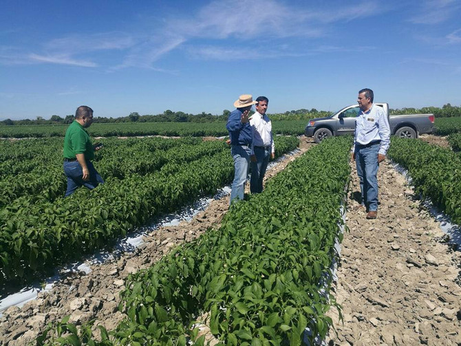 High demand for Mexican hot peppers