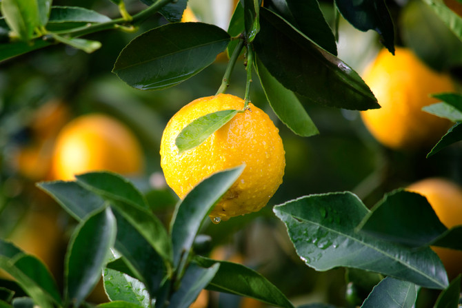APHIS Publishes Final Rule to Allow Lemons from NW Argentina into the US