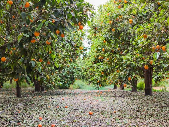 Mexico: Valencia orange volumes increase thanks to phytosanitary improvements