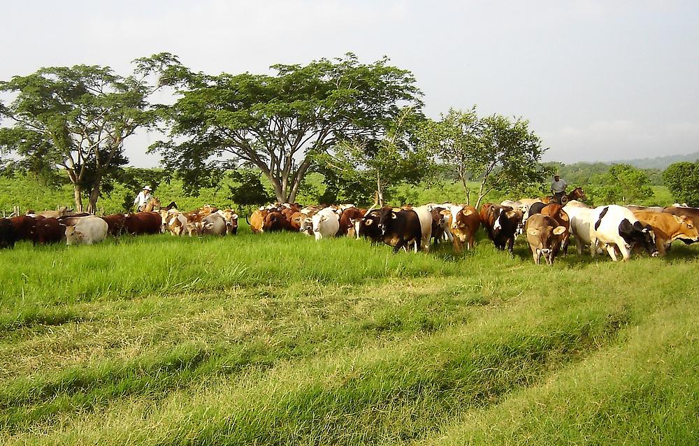 Organic grass feeding project, Veracruz, MX
