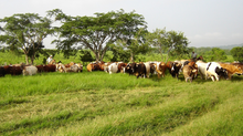 "FGH Agribusiness Consulting ""Big Picture Thinking"" has helped the  Americas beef cattle chain for th"