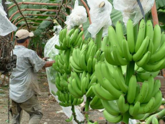 Ecuadorian bananas prices are expected to be high at the beginning of 2018