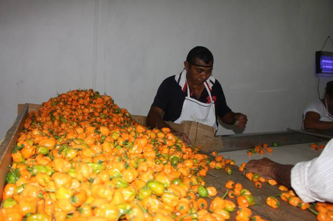Mexico: Quintana Roo to ship habanero peppers to the UK
