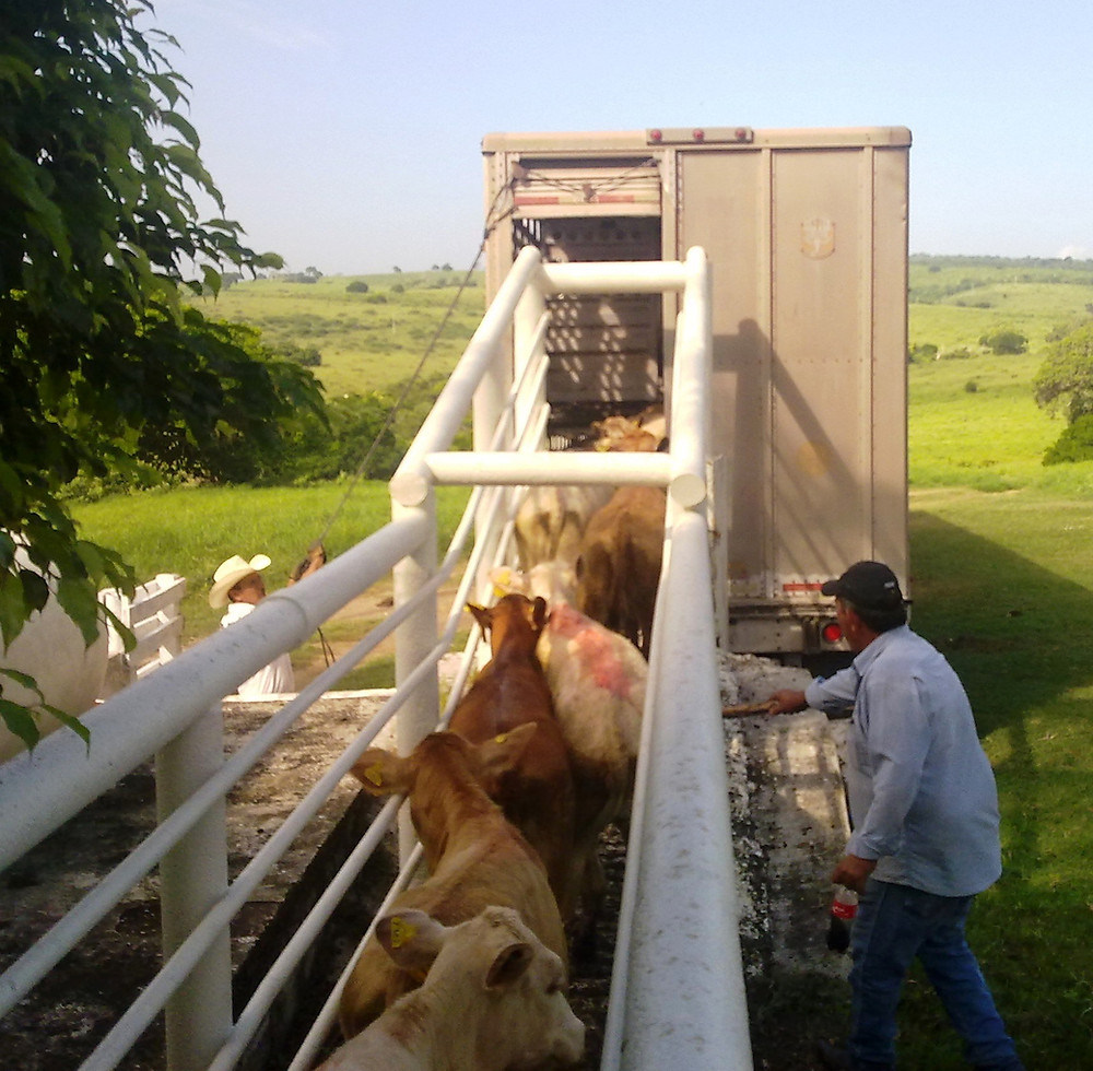 Spayed heifers bound to Amarillo, TX, from Tamaulipas MX.