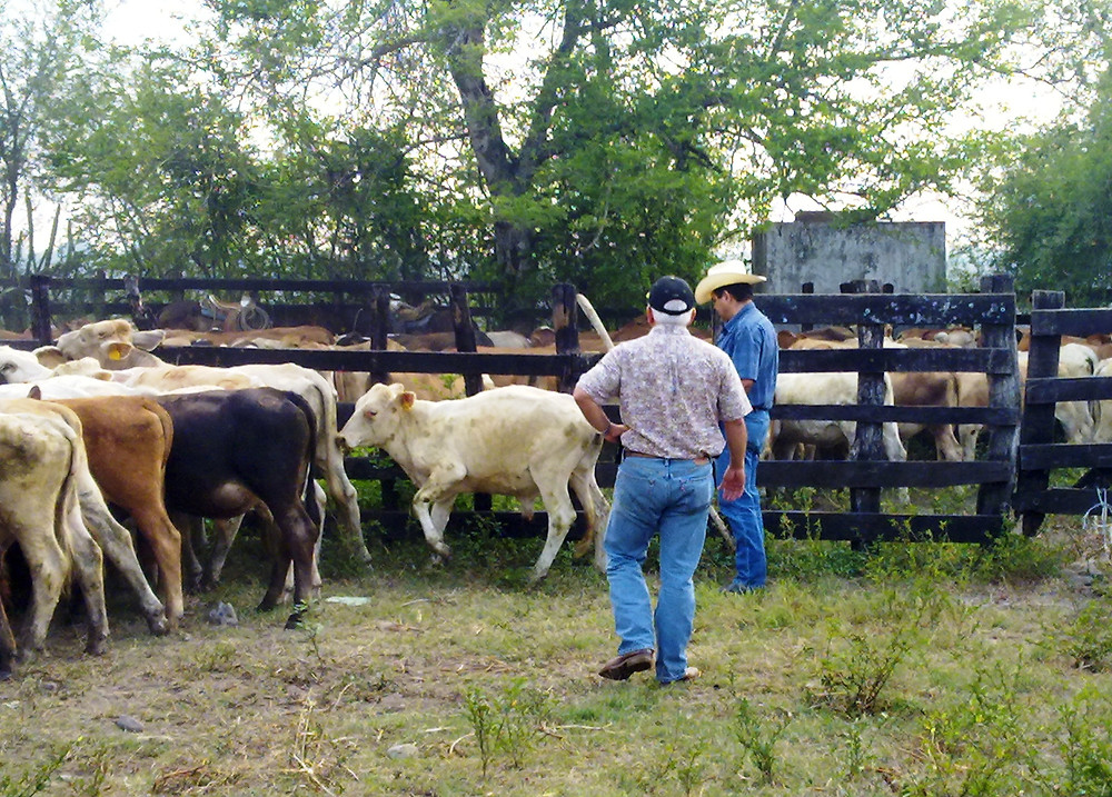 Total cattle inspection prior shipping to USA port