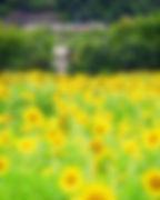 2020-7  牟佐の向日葵と津山線120.jpg