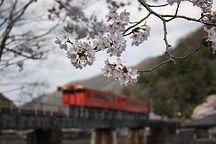 桜と宇甘川橋梁