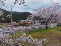 大糸線の春(桜)