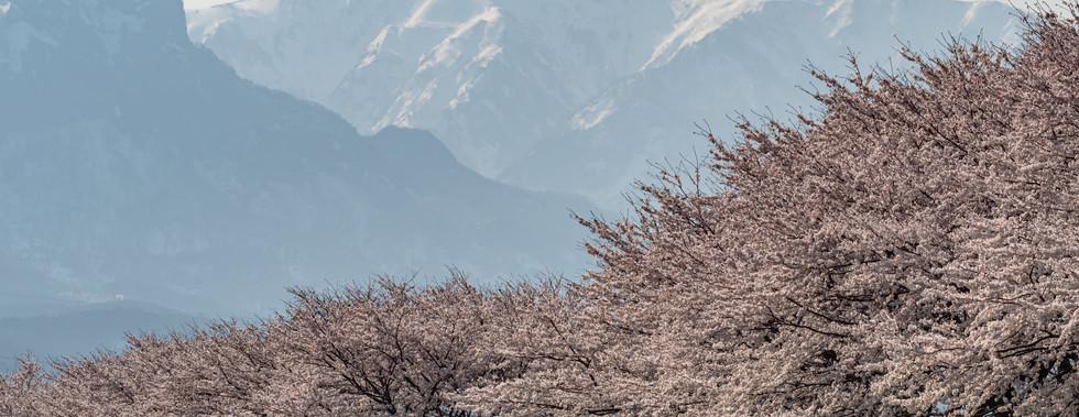 桜 糸魚川 赤野さん2021-4-3.jpg