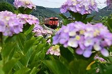 紫陽花とキハ