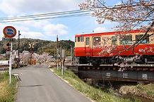 桜川の桜.jpg
