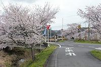 桜川のサクラ並木