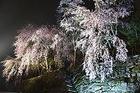 枝垂桜ライトに映えて