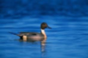 northern-pintail-duck-1790415_1280.jpg