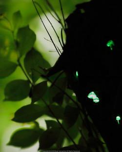 森のトモシビ。