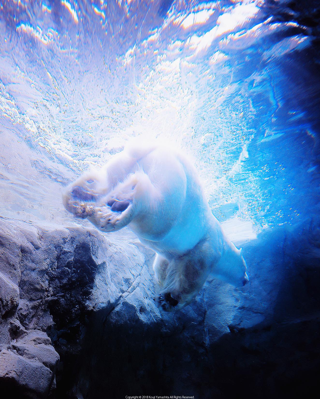 Polar Bear,Dive!